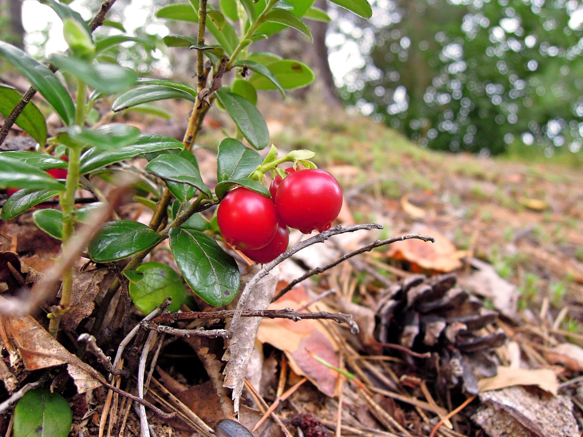Wild Manitoba berry shows promising health benefits   Fondation de ...